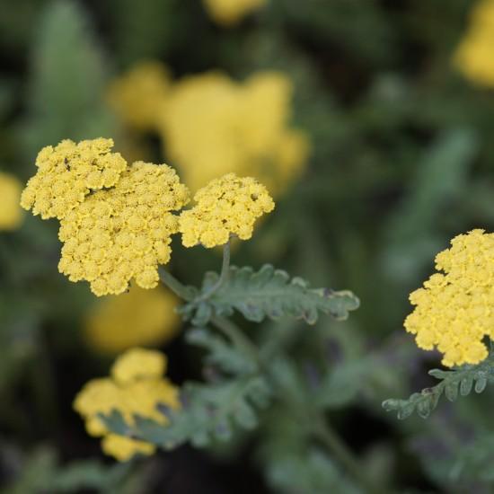 Achillea Clypeolata-Hybride 'Moonshine' – Goldquirl-Garbe Staude gelb blühend