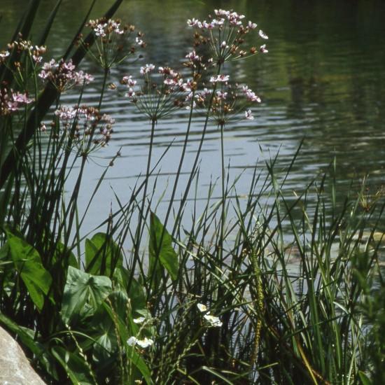 Blumenbinse Butomus umbellatus – Staude Wasserpflanze Teichpflanze
