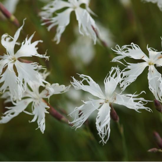 Blumixx Stauden Dianthus arenarius - Sandnelke Blütenfarbe weiß