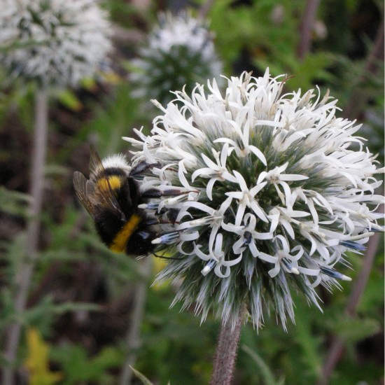 echinops sphaerocephalus 39 arctic glow 39 wei e kugeldistel. Black Bedroom Furniture Sets. Home Design Ideas