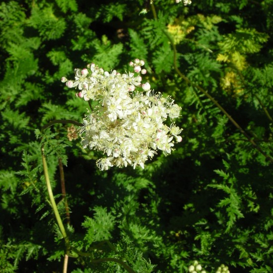 Blumixx Stauden Filipendula vulgaris - Kleines Mädesüß