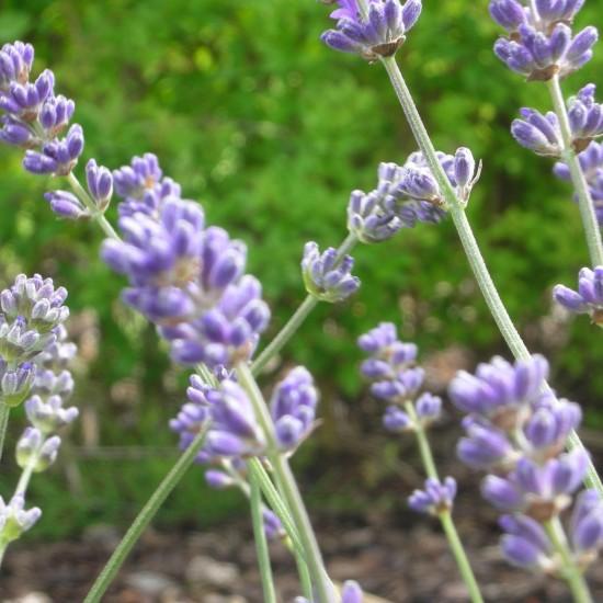 lavandula angustifolia 39 munstead 39 garten lavendel. Black Bedroom Furniture Sets. Home Design Ideas