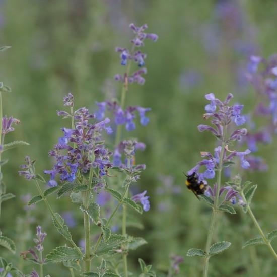Katzenminze Nepeta x faassenii /'Six Hills Giant/' Insektenweide Rosenbegleiter