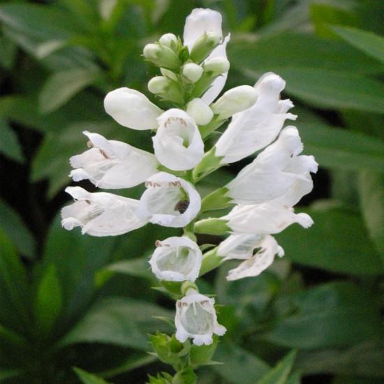 Blumixx Stauden Physostegia virginiana 'Alba' - Gelenkblume