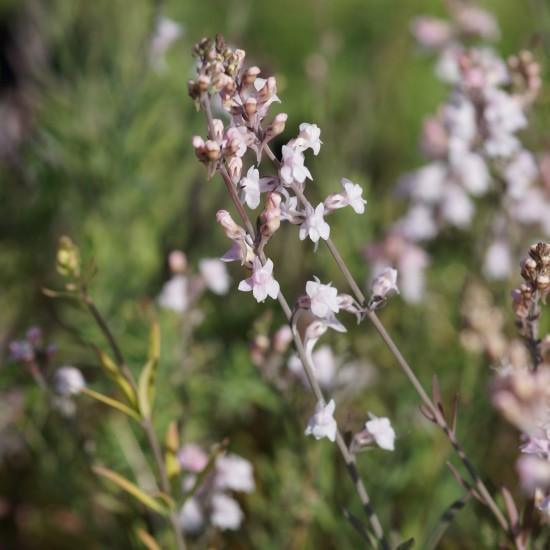 Blumixx Stauden Linaria purpurea 'Canon J.Went' - Purpur-Leinkrau