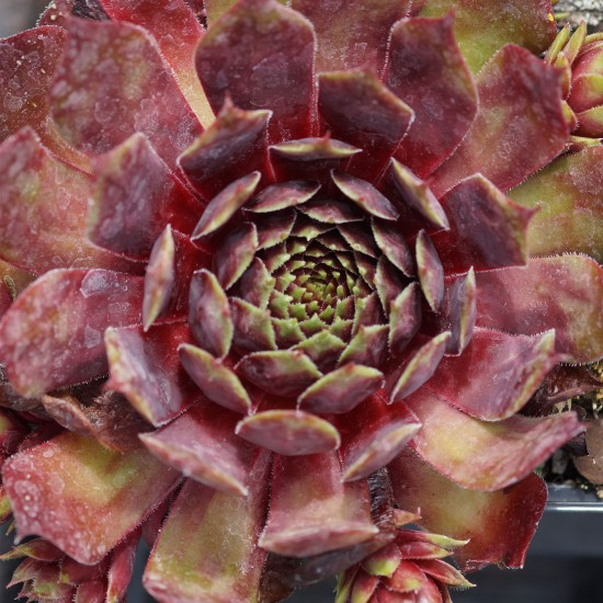 blumixx_stauden_Sempervivum_Hybride_Red_Cross_hauswurz