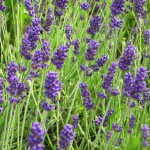 blumixx_stauden_lavandula_angustifolia_hidcote_blue_lavendel