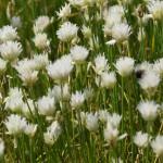 blumixx_stauden-Allium_schoenoprasum_Corsican_White_zierschnittlauch_1