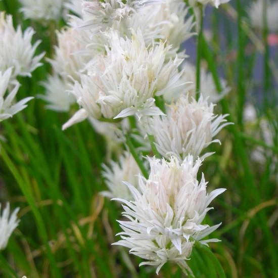 blumixx_stauden-Allium_schoenoprasum_Corsican_White_zierschnittlauch