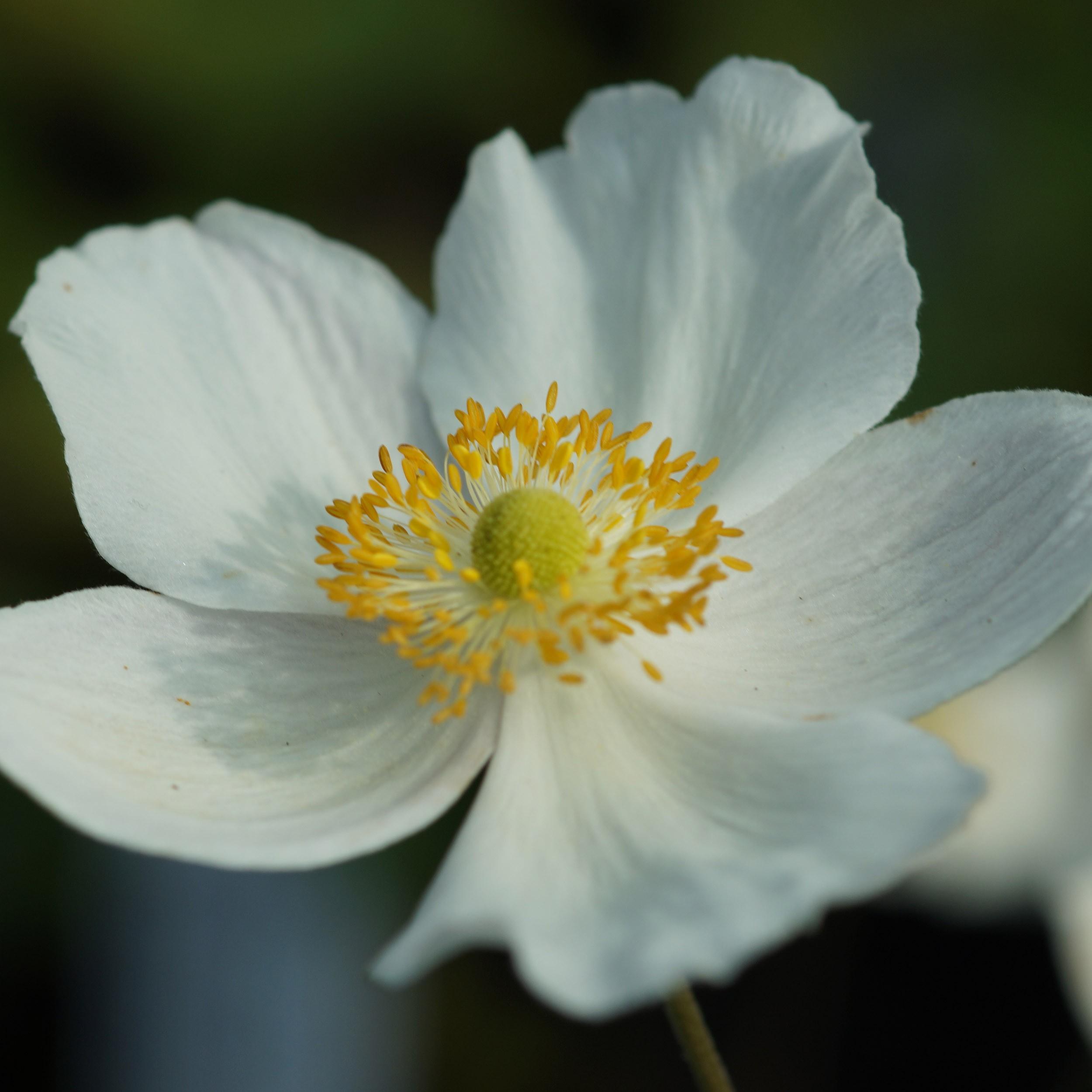 anemone japonica hybr 39 honorine jobert 39 herbstanemone. Black Bedroom Furniture Sets. Home Design Ideas