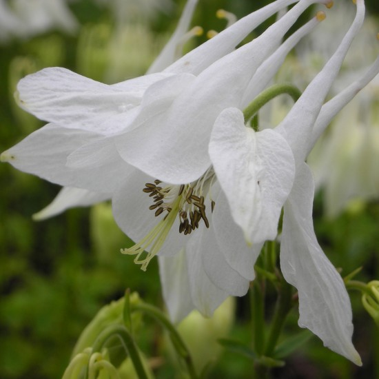 Akelei – Aquilegia vulgaris 'Alba' weiß blühend Staude