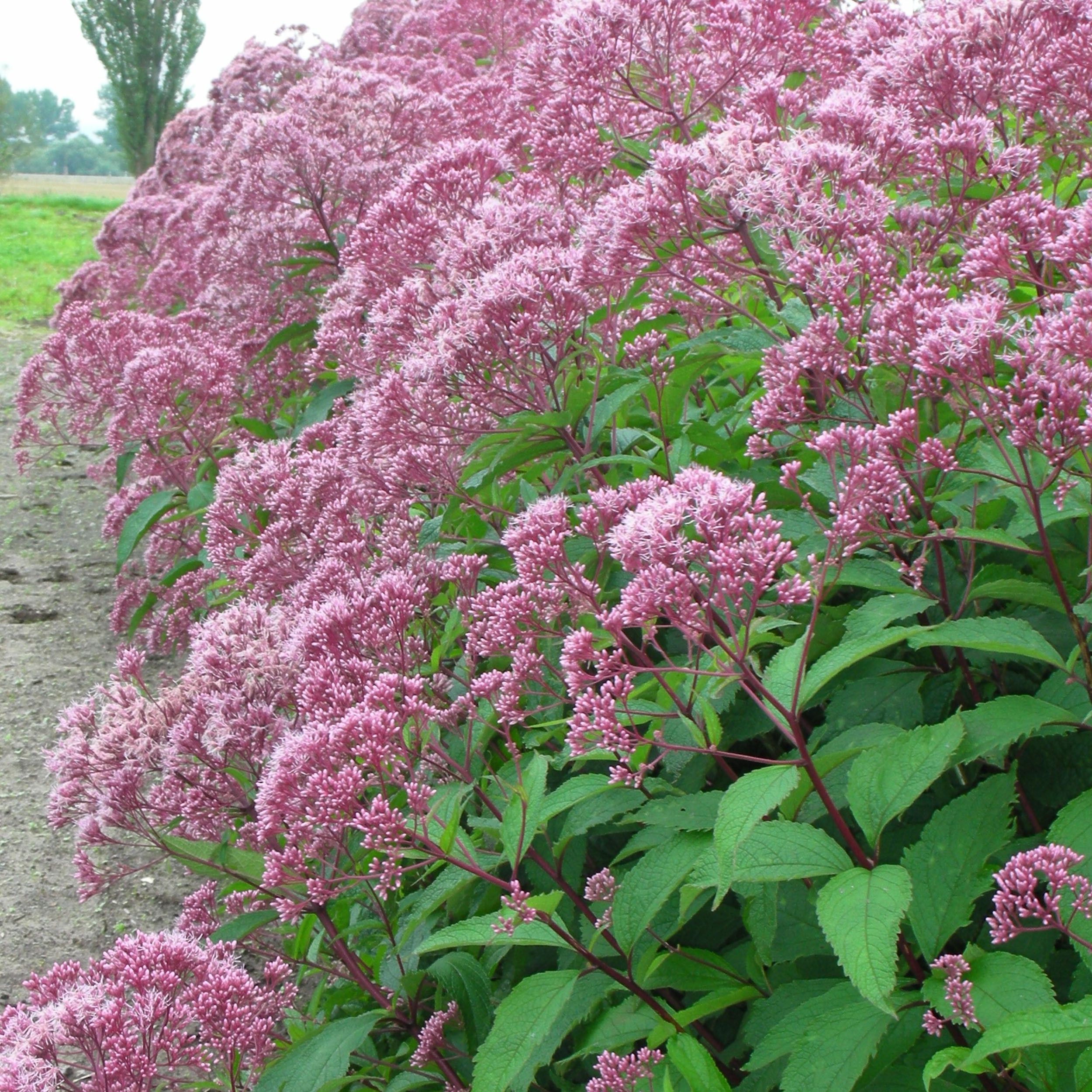 eupatorium fistulosum 39 atropurpureum 39 garten wasserdost. Black Bedroom Furniture Sets. Home Design Ideas