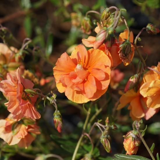 Blumixx Stauden Helianthemum Hybride 'Bronzeteppich' - Sonnenrösc