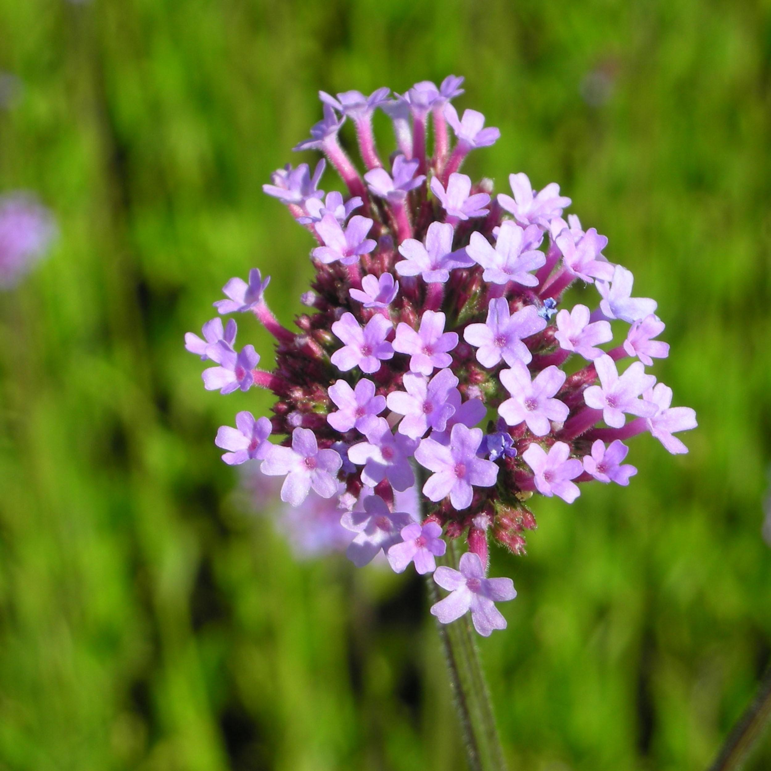 Lieblings Verbena bonariensis - Verbene - Standort: sonnig, Blütenfarbe @OW_16