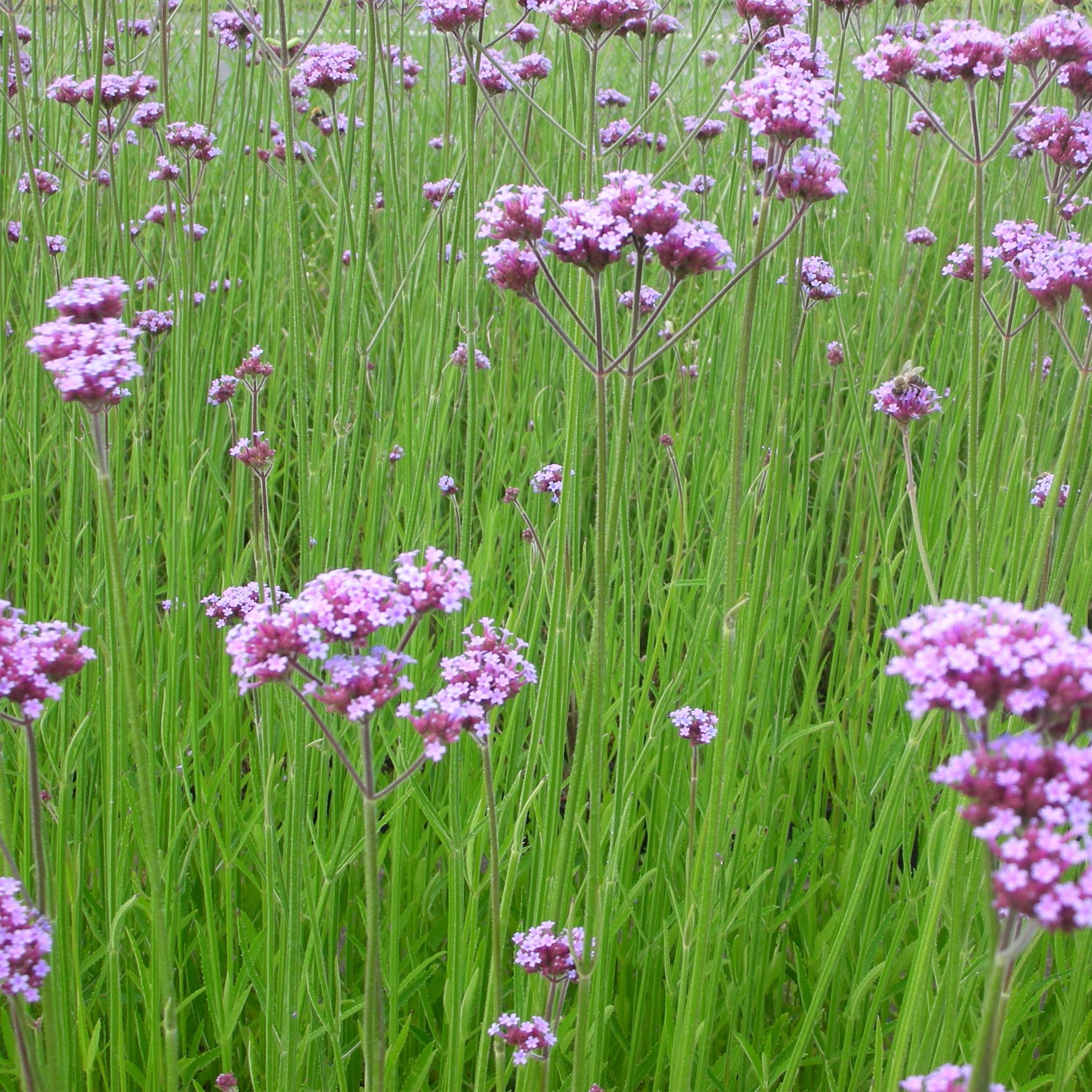 Berühmt Verbena bonariensis - Verbene - Standort: sonnig, Blütenfarbe &BB_95
