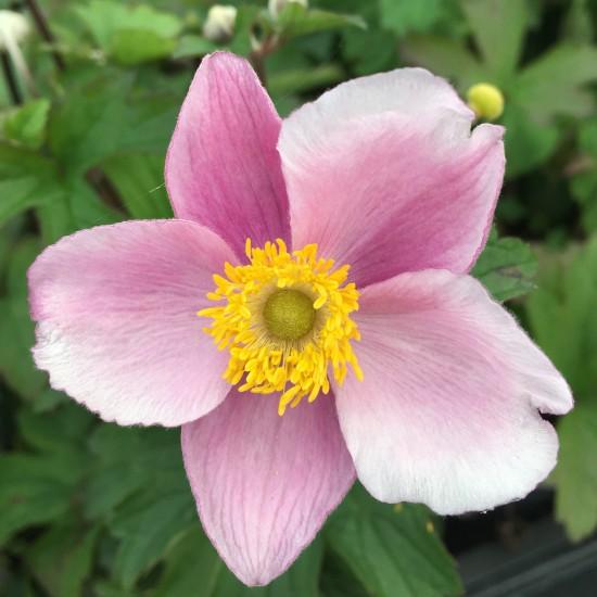 Anemone hupehensis 'September Charme' – Herbstanemone 0,5 Liter Topf