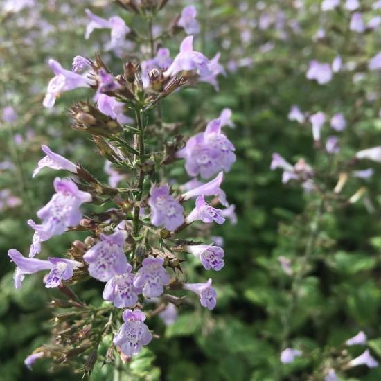 Bergminze Calamintha nepeta 'Blue Cloud' Rosenbegleiter Bienenstaude 0,5L Topf