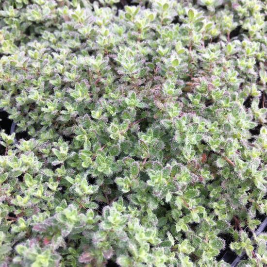 Thymus praecox var. pseudolanuginosus - Woll-Thymian im 0,5 Liter Topf
