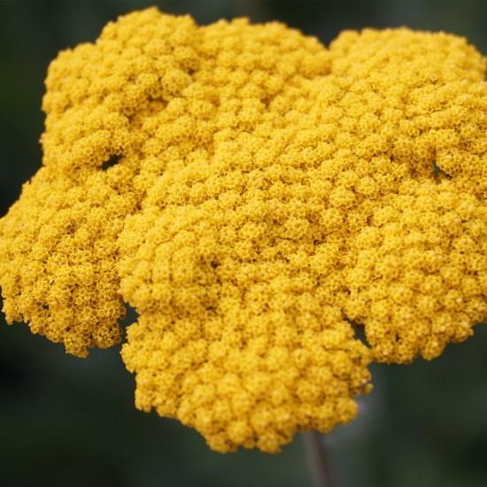 Blumixx Stauden Achillea Filipendulina-Hybr. 'Coronation Gold' –