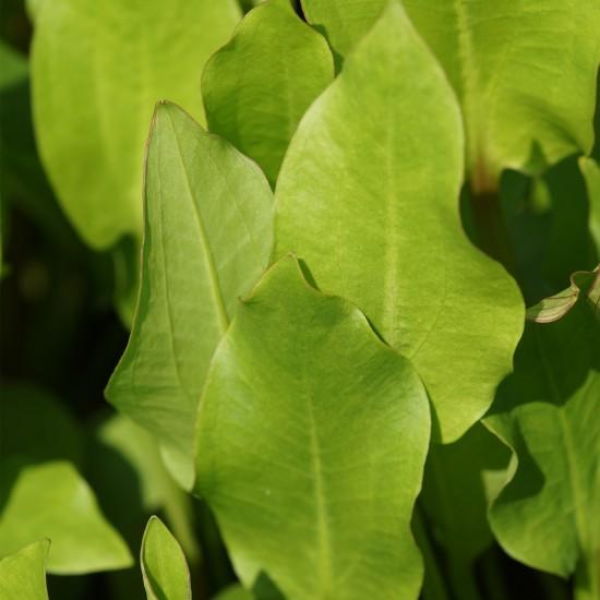 Blumixx Stauden Alisma plantago aquatica - Gewöhnlicher Froschlöf