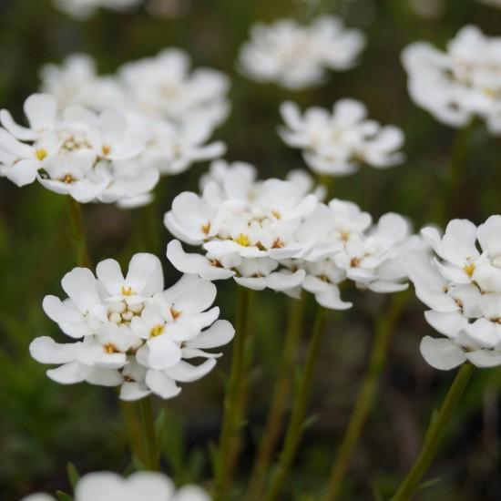 Blumixx Stauden Iberis sempervirens 'Fischbeck' - Schleifenblume