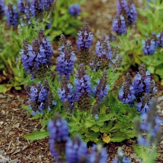 Sommer-Gartensalbei - Salvia nemorosa 'Marcus' ® 0,5L Topf Bienenstaude