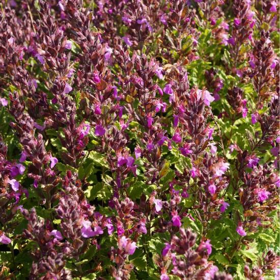 Blumixx Stauden Teucrium x lucidrys - Gamander Blütenfarbe rosa