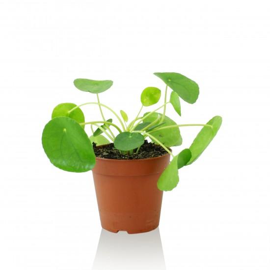 Indoor Helden Chinesischer Geldbaum Pilea peperomioides 1