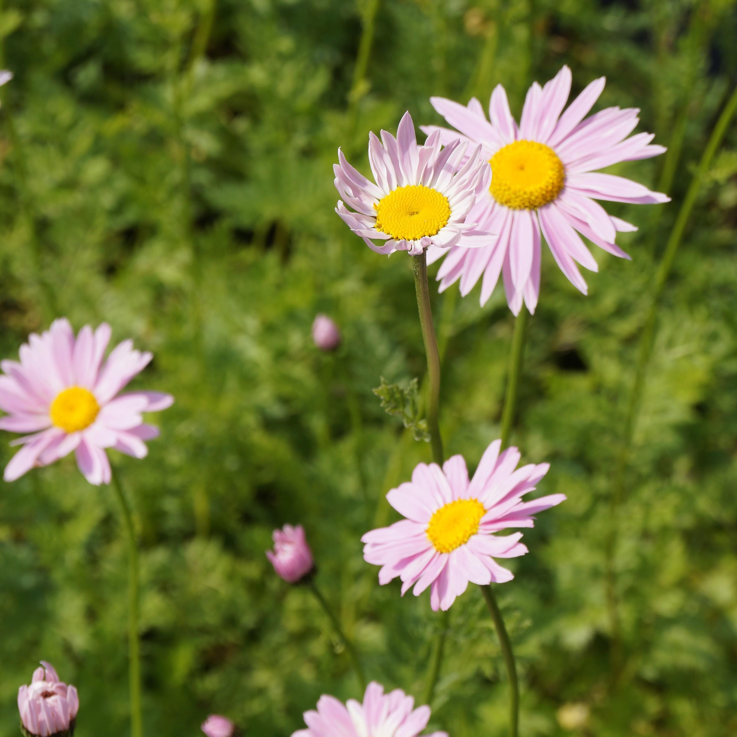 Super Chrysanthemum coccineum 'Robinsons Rosa' - Bunte Garten-Margerite @HQ_95