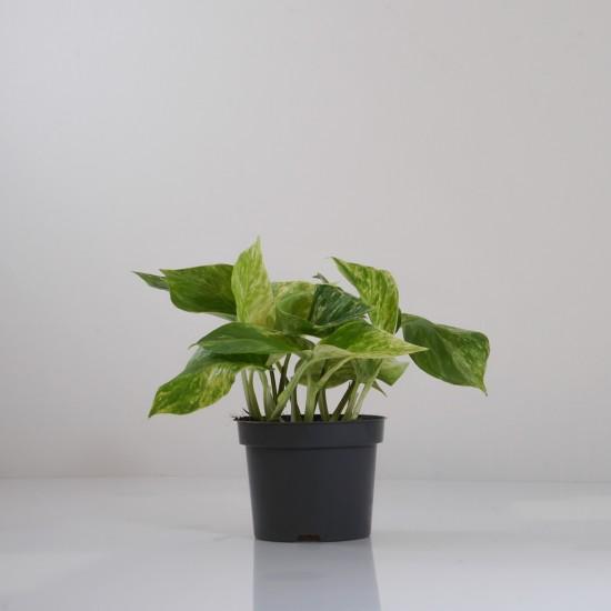 Indoor-Helden Epipremnum 'Marble Queen' Efeutute Hängepflanze Topf-Ø 12 cm