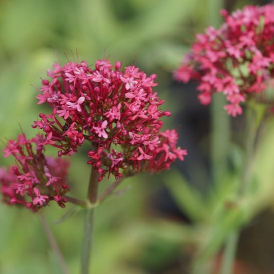 Garten-Spornblume - Centranthus ruber 'Coccineus' Staude 0,5L Topf