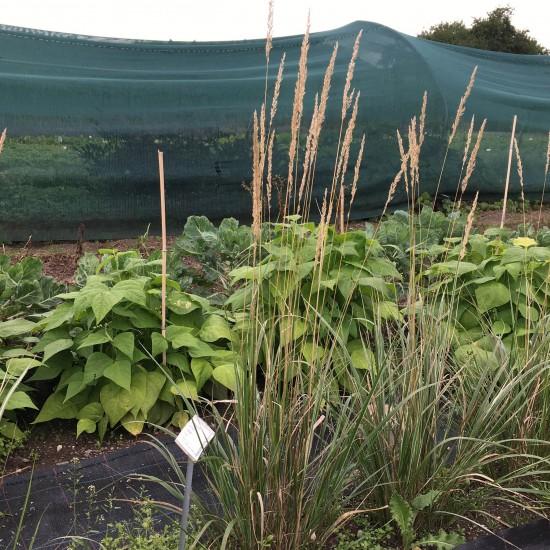Blumixx Stauden Calamagrostis x acutiflora 'Overdam' - Reitgras