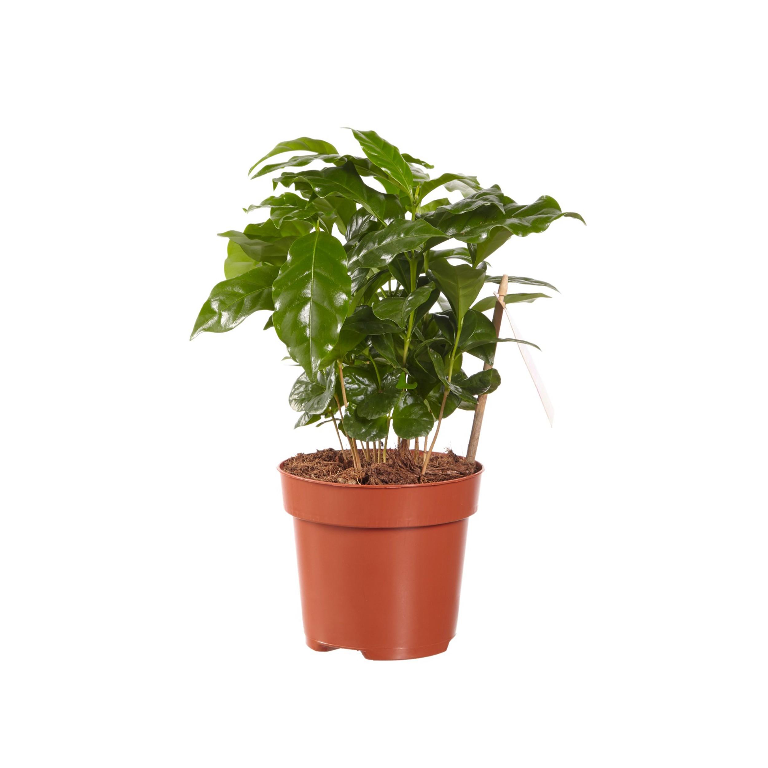 Zimmerpflanze Coffea arabica Kaffee Pflanze 1 Pflanze